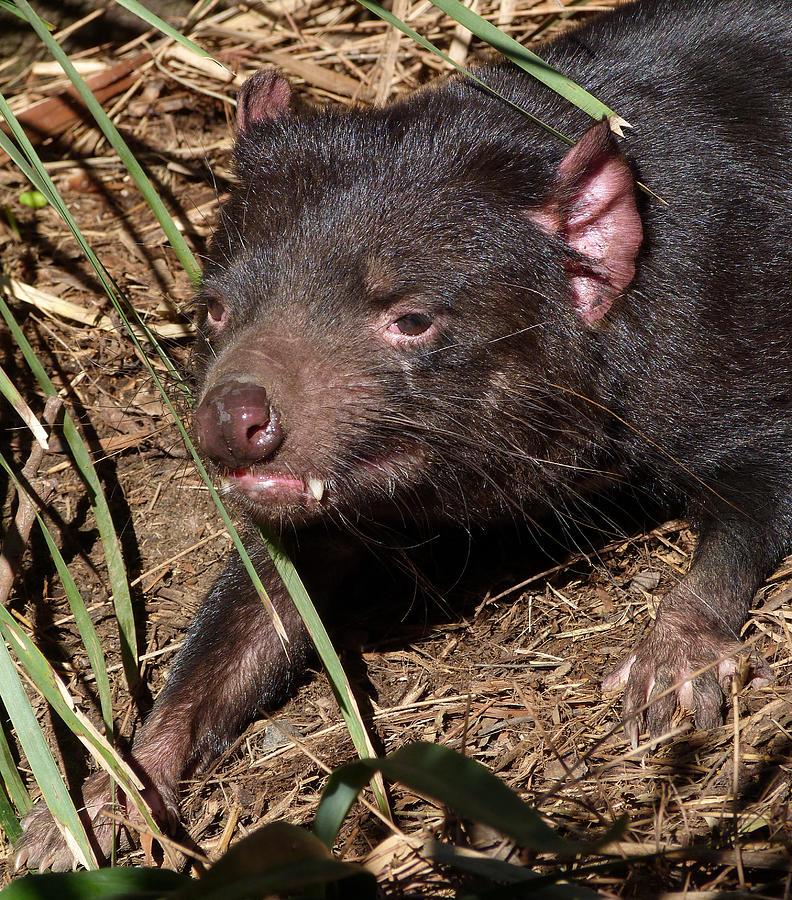 Tasmanian Devil Photograph - Tasmanian Devil by Margaret Saheed