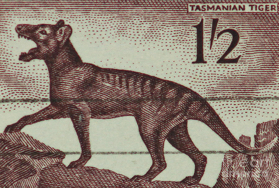 Tasmanian Tiger Photograph - Tasmanian Tiger Vintage Postage Stamp by Andy Prendy