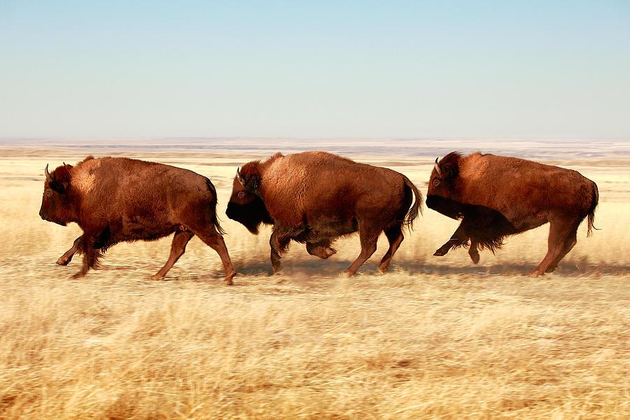 Buffalo Photograph - Tatanka by Todd Klassy