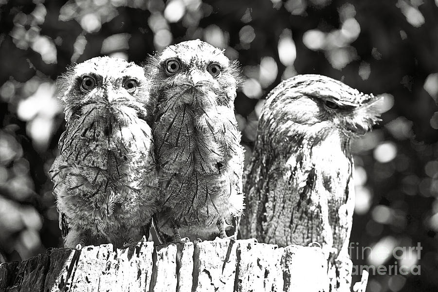 Tawny Frogmouths Photograph by David Benson