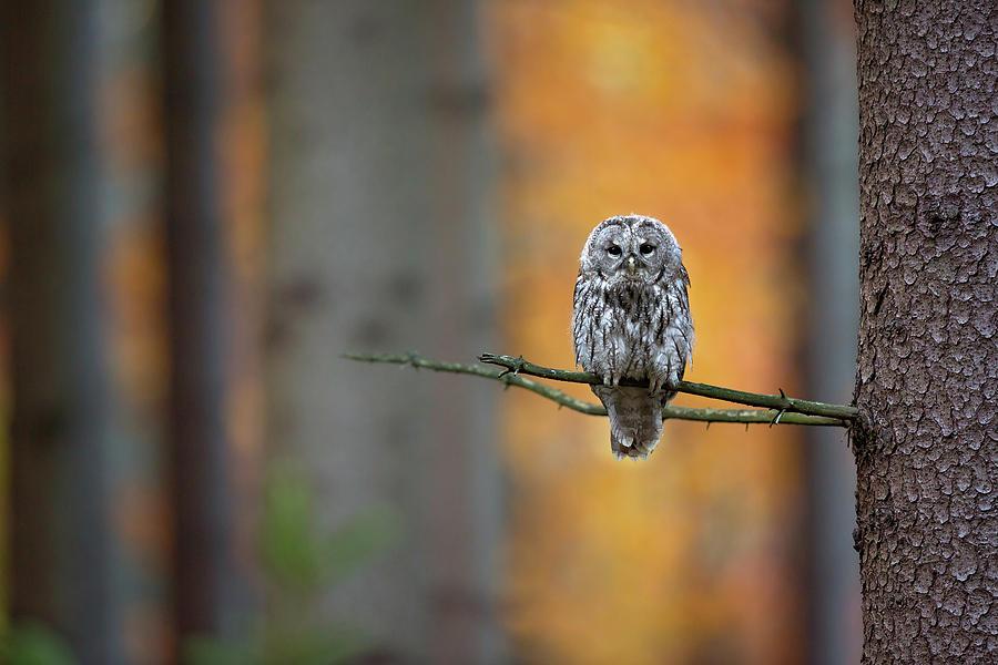 Owl Photograph - Tawny Owl by Milan Zygmunt