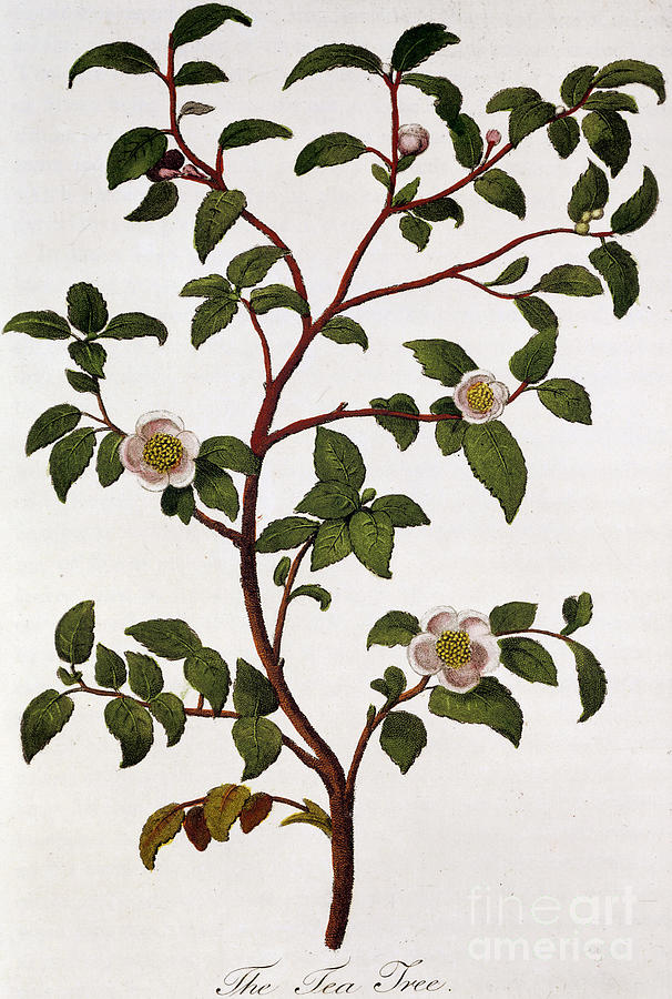 Tea Painting - Tea Branch Of Camellia Sinensis by Anonymous