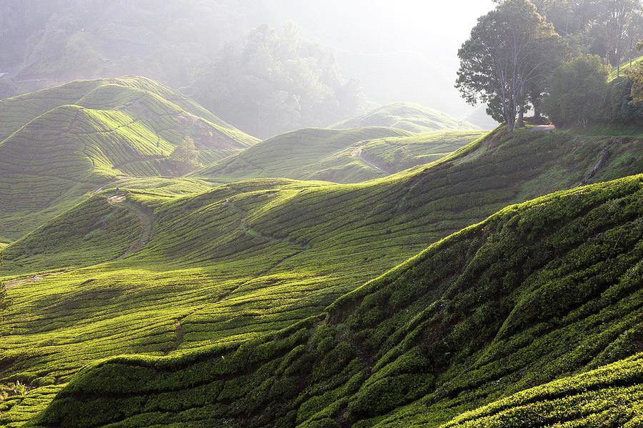 Tea Estate Photograph by Daniel Osterkamp