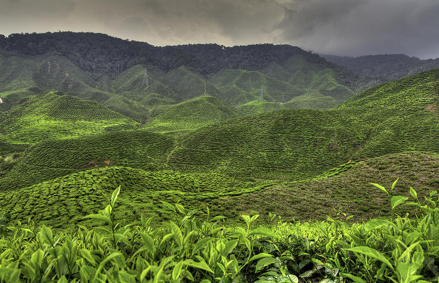 Cameron Photograph - Tea Farm by Mario Legaspi