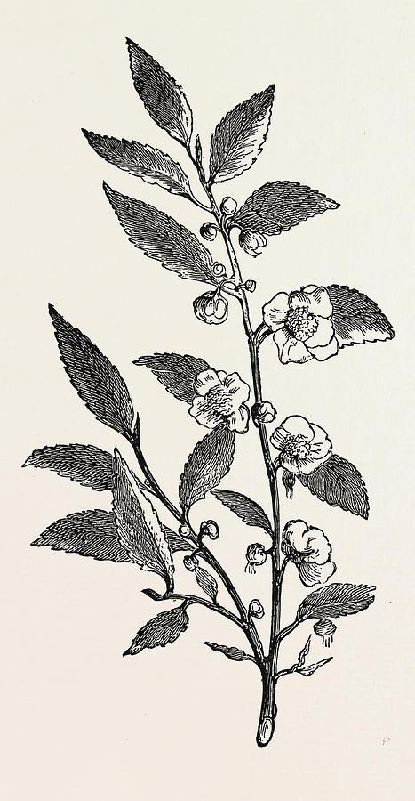 Tea Plant Thea Viridis Drawing By English School