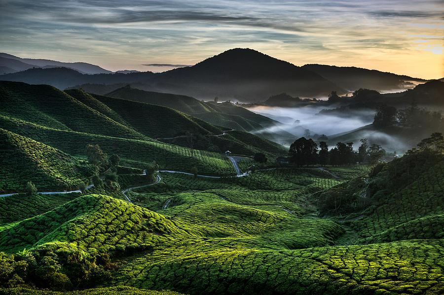 Tea Plantation Photograph - Tea Plantation At Dawn by Dave Bowman