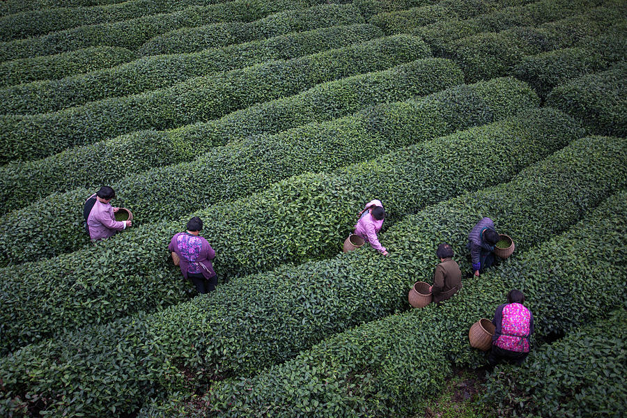 Tea Pluckers Picking Tea Leaves In Photograph by Xia Yuan
