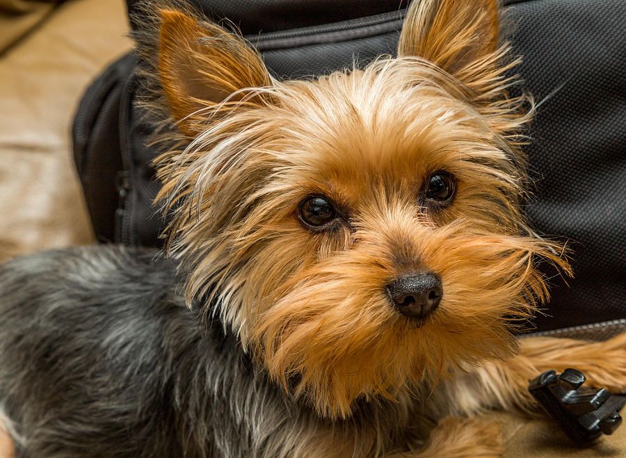 Teacup Yorkie Zia Photograph by Charles A LaMatto