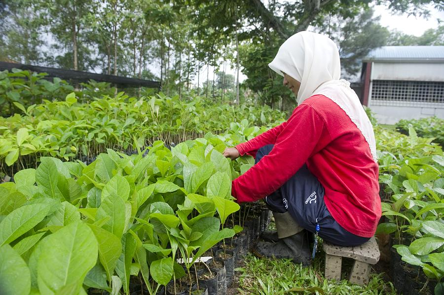 Human Photograph - Teak Planting, Malaysia by Science Photo Library