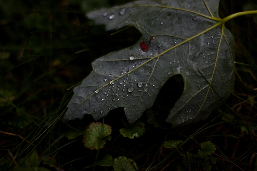Rain Water Photograph - Tears Of A Leaf by Michael Murphy