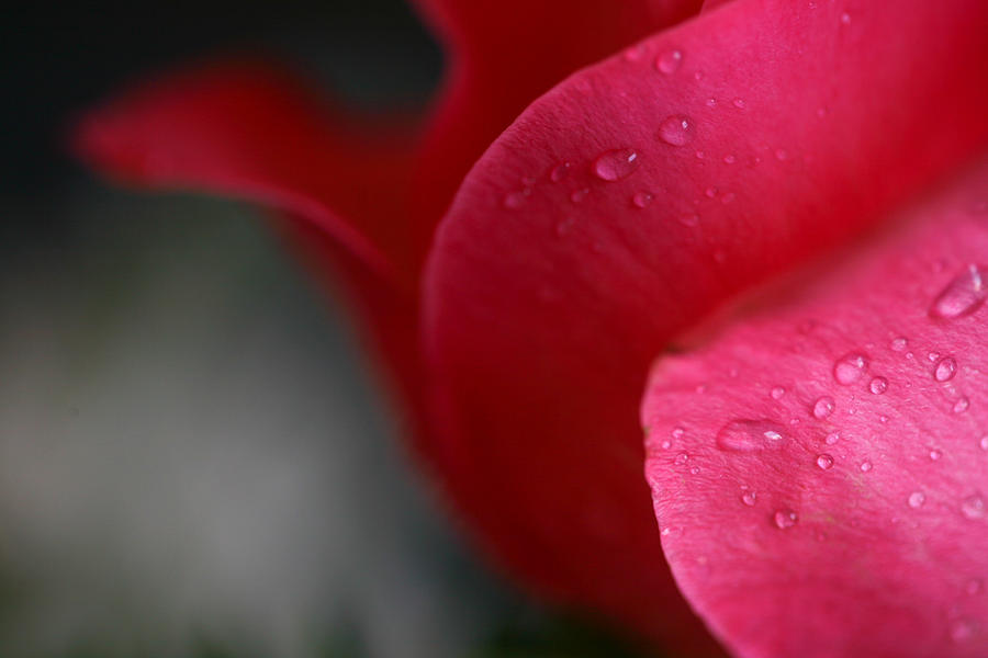 Rose Photograph - Tears On A Petal by John Holloway