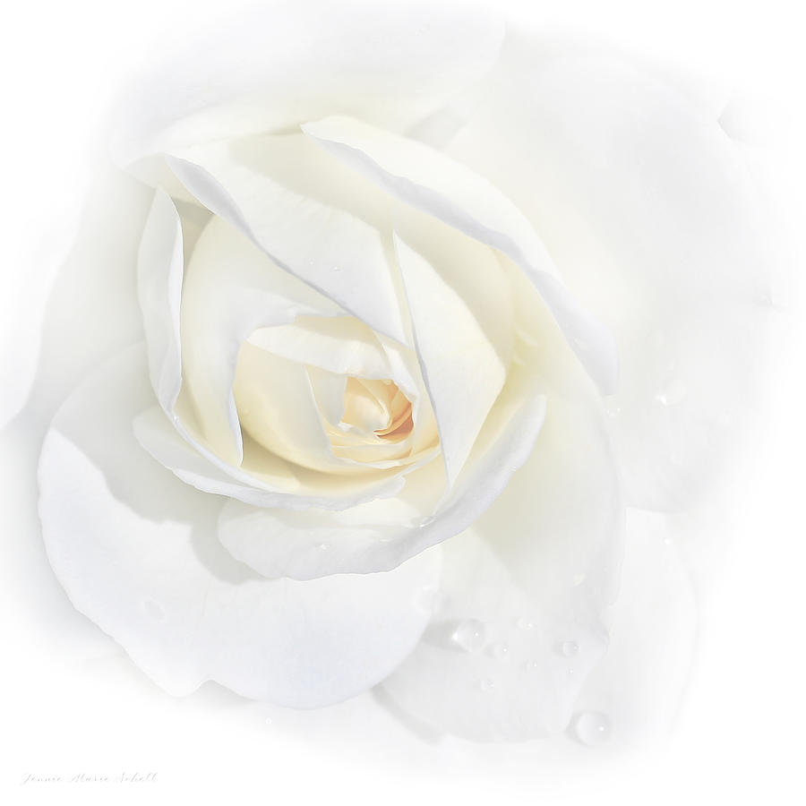 Tears White Rose Flower Photograph By Jennie Marie Schell