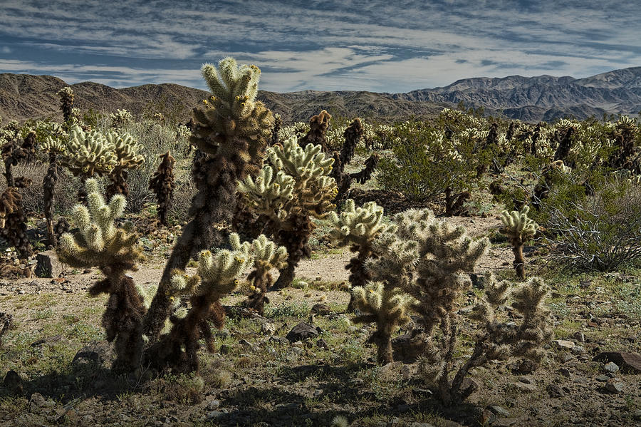 Landscape Photograph - Teddy Bear Cholla Cactus In California 0251 by Randall Nyhof