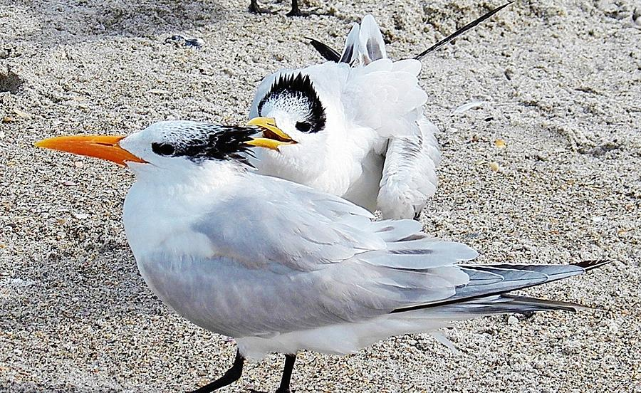 Beach Painting - Telling Secrets Royal Terns by Judy Via-Wolff