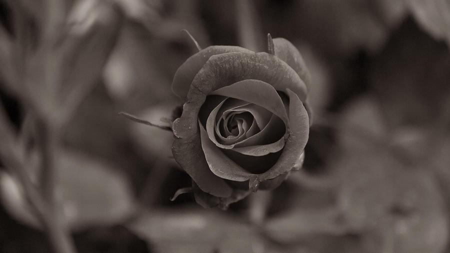 Temps De Flors - Black And White Rose Photograph