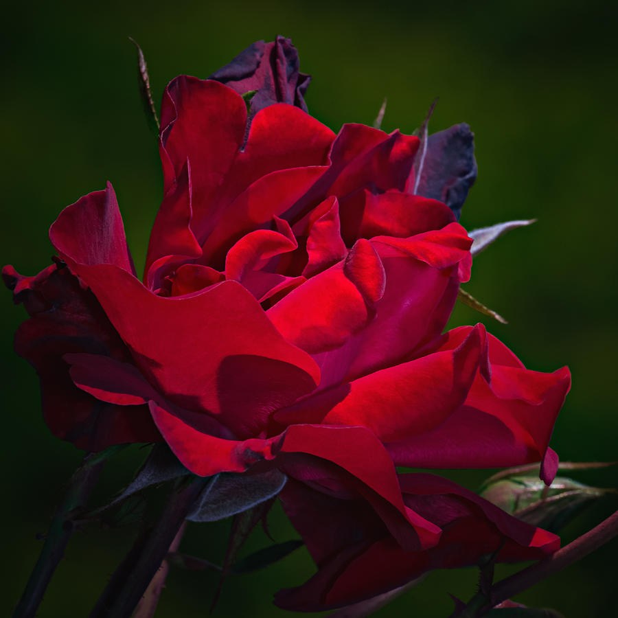 Roses Photograph - Temptation by Tomasz Dziubinski