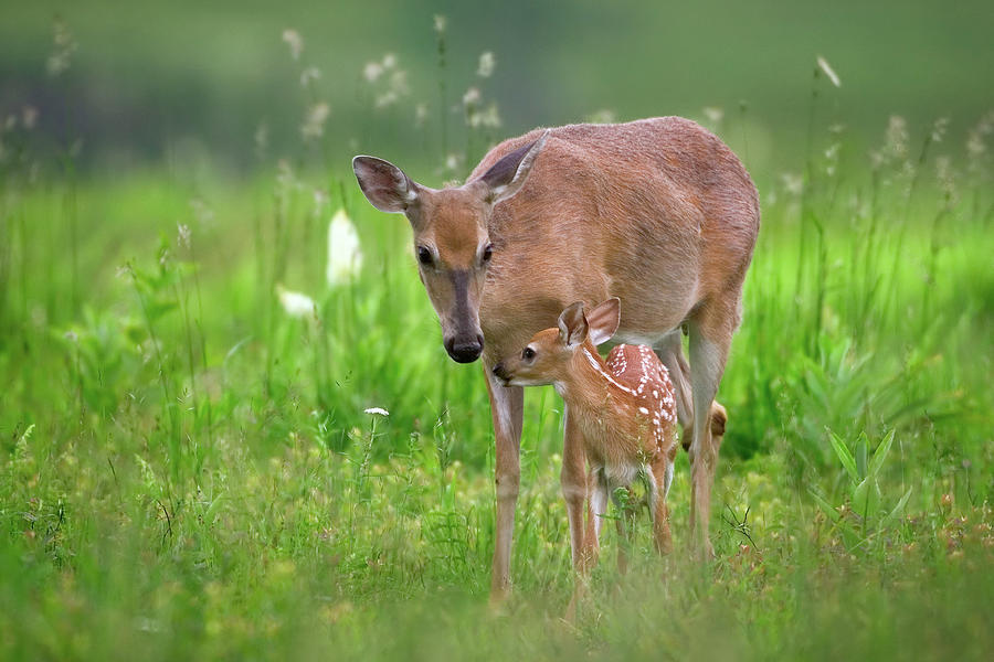 Deer Photograph - Tender Moment by Nick Kalathas