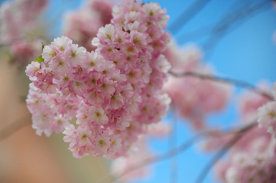 Spring Photograph - Tender Whisper. Pink Spring In Amterdam by Jenny Rainbow