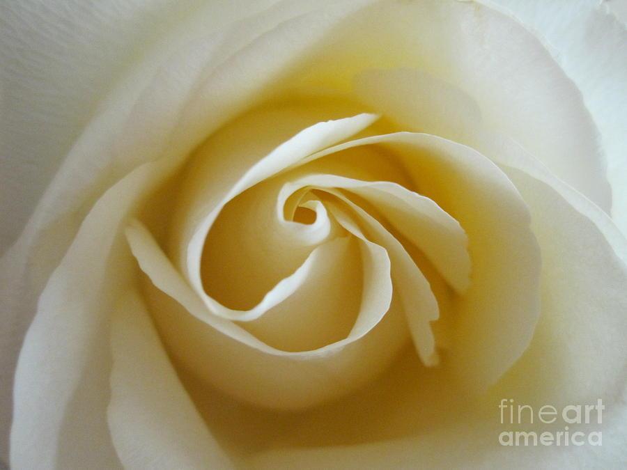 Floral Photograph - Tenderness White Rose by Tara  Shalton