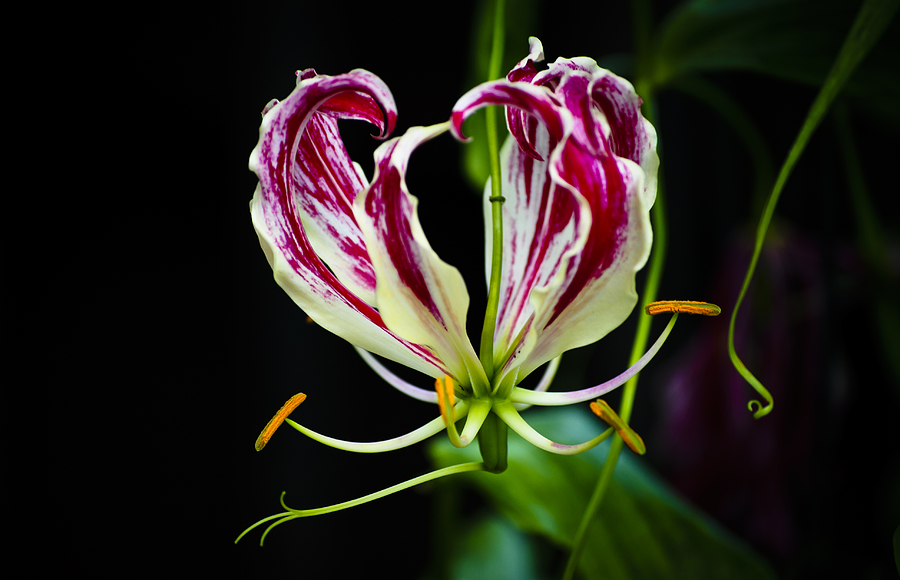 Stamen Photograph - Tendrils Of My Mind by Christi Kraft