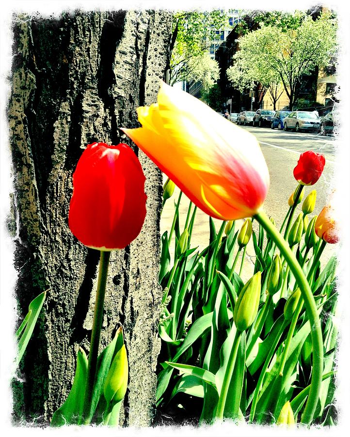 Tenth Street Tulips Photograph by Scott Snizek