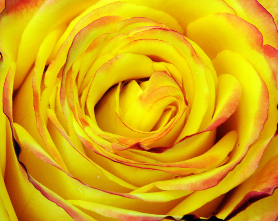 Beautiful Photograph - Tequila Sunrise Rose by Charles Feagans