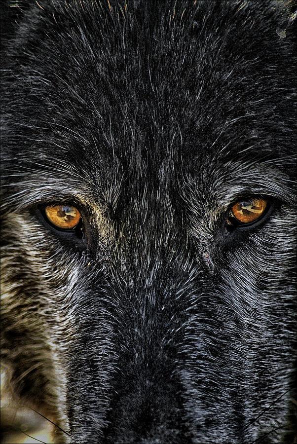 Wolf Photograph - Terminal Stare by Robert Fawcett