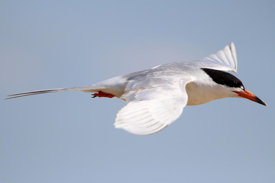 Tern Photograph - Tern Bird by Diane Rada