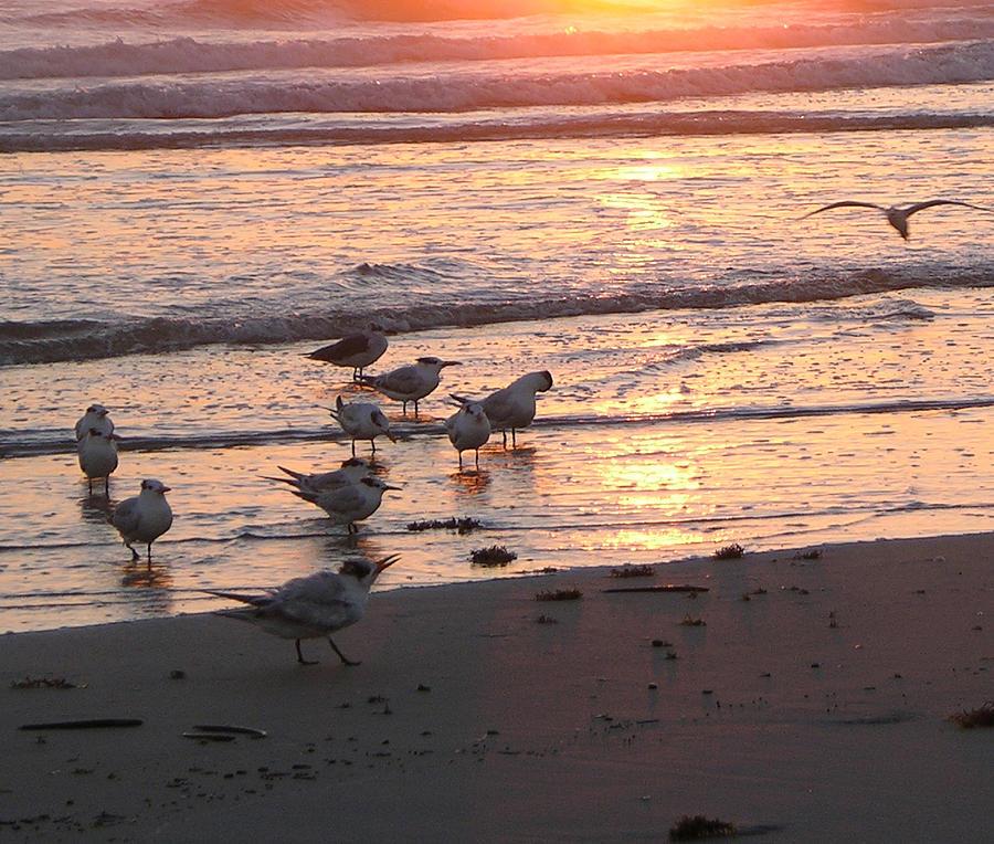 Terns At Sunrise 10-12-14  Julianne Felton Photograph by Julianne Felton