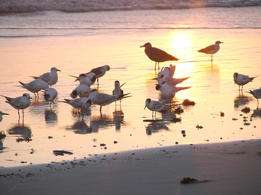 Terns At Sunrise With Seagull Photograph by Julianne Felton