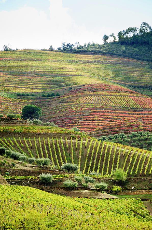 Terraced Field Vineyard  In Its Autumn Photograph by Ogphoto