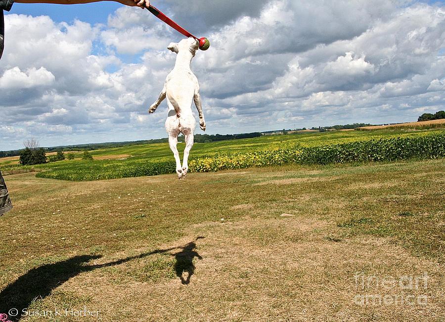 Dog Photograph - Terrier Ball Ballet by Susan Herber