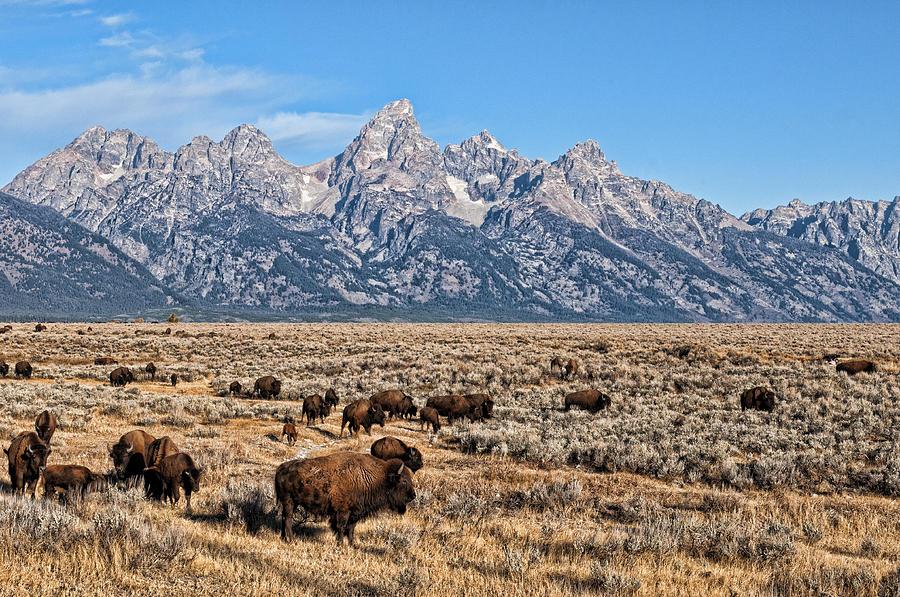 Teton Buffalo by David Armstrong