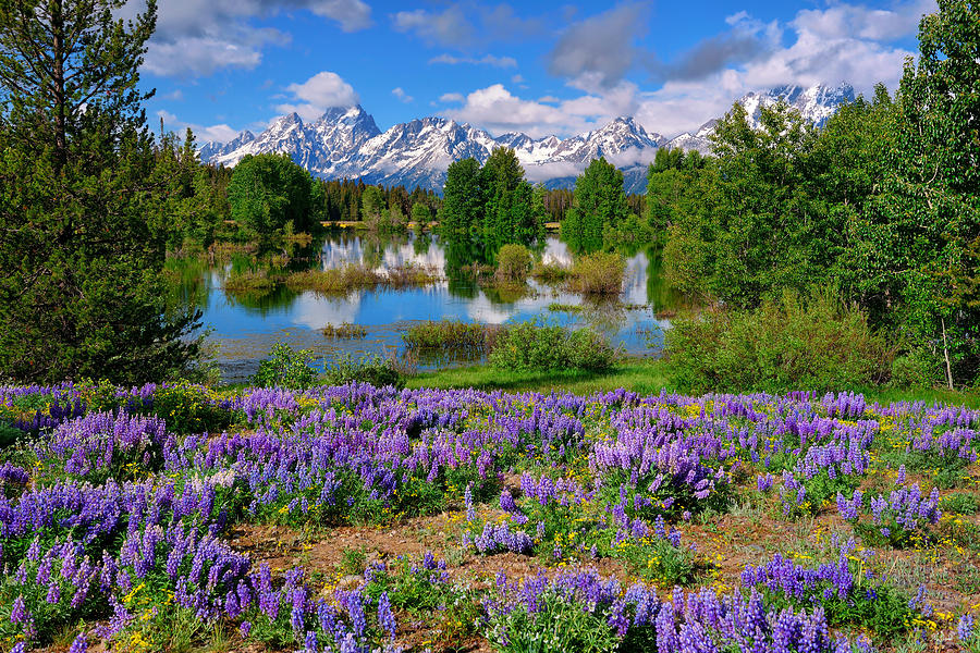 Grand Teton National Park Photograph - Teton Spring Lupines by Greg Norrell