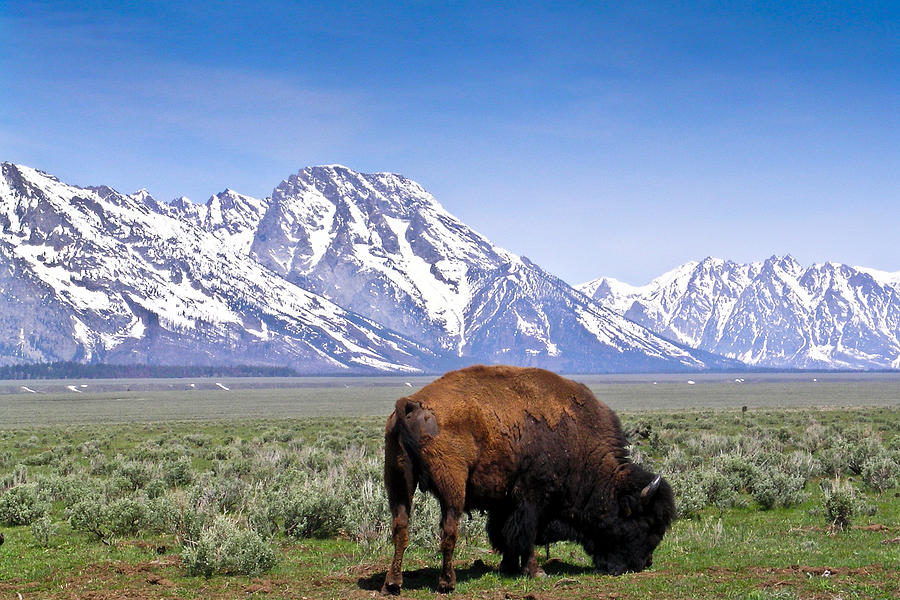 Tetons Photograph - Tetons Buffalo Range by Douglas Barnett