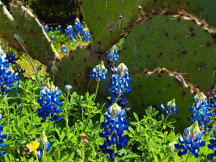 Texas Blue Bonnets Photograph - Texas Blue Bonnets by Mark Weaver