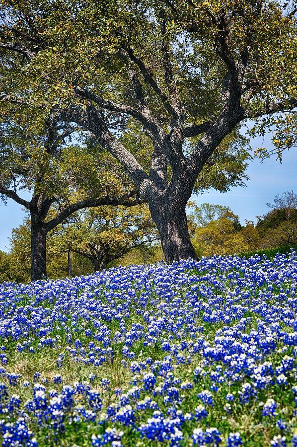 Texas Bluebonnet Hill by Kristina Deane