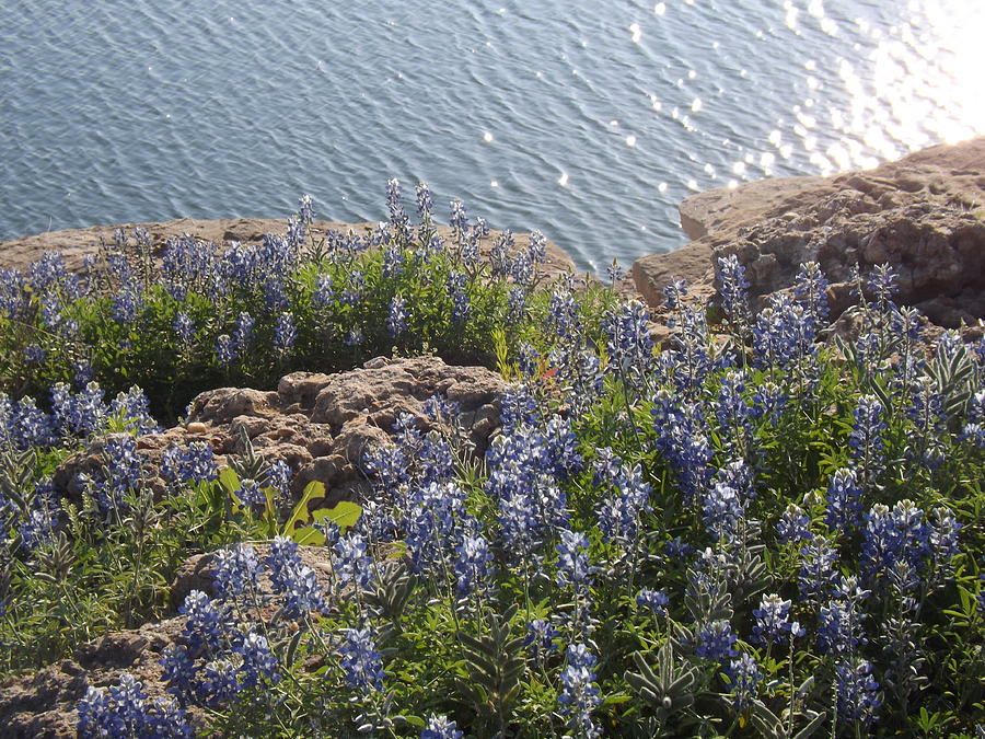 Texas Bluebonnets At Lake Travis Photograph by Rebecca Cearley
