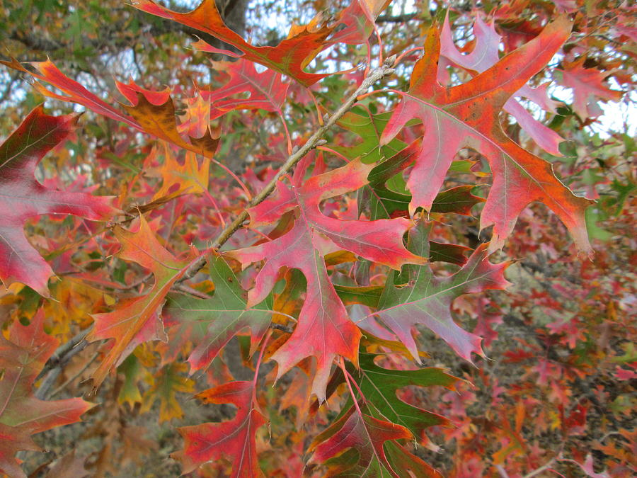 Fall Photograph - Texas Fall Colors by Rosalie Klidies