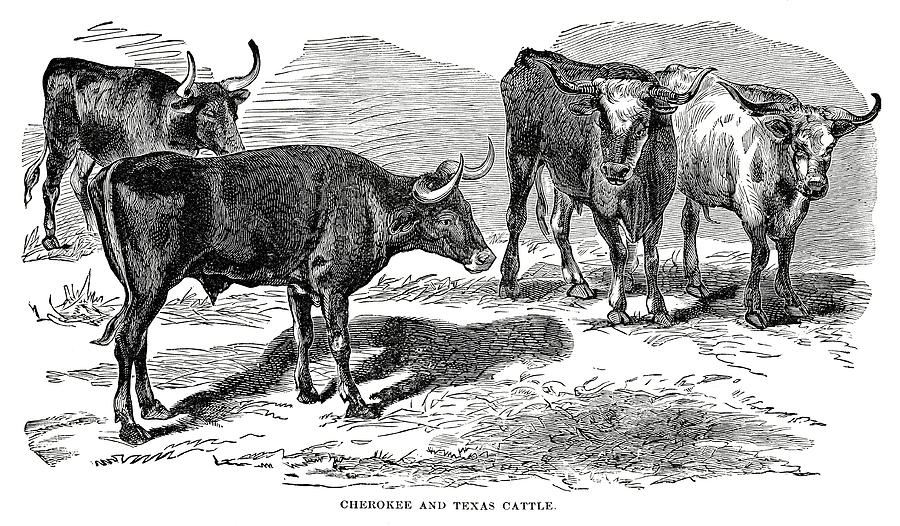 Texas Longhorn Cattle Digital Art by Nnehring