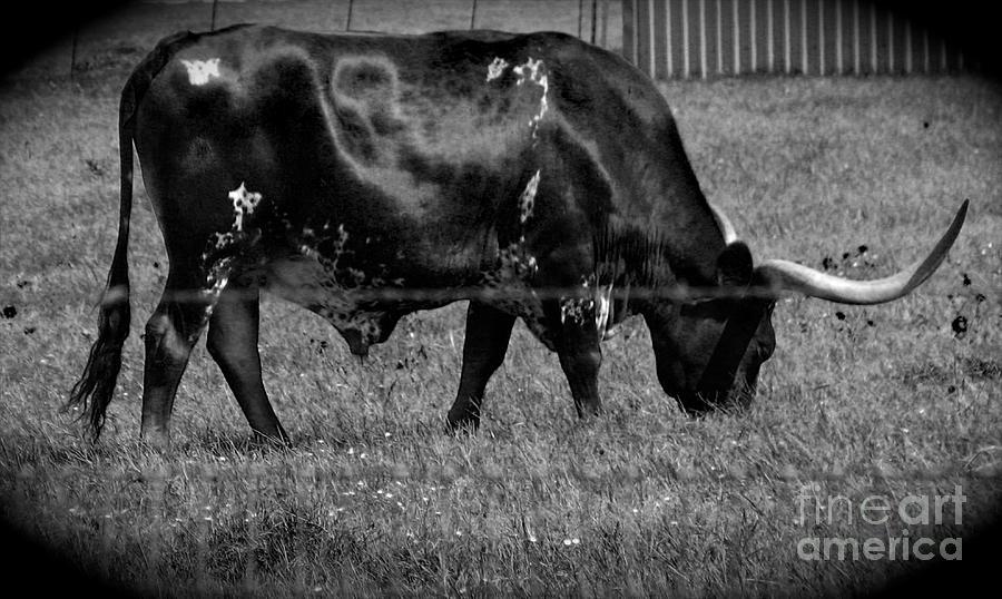 Texas Longhorn IIi Photograph