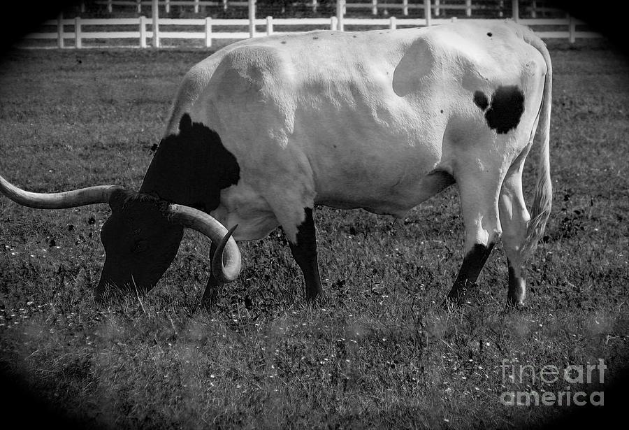 Texas Longhorn Iv Photograph