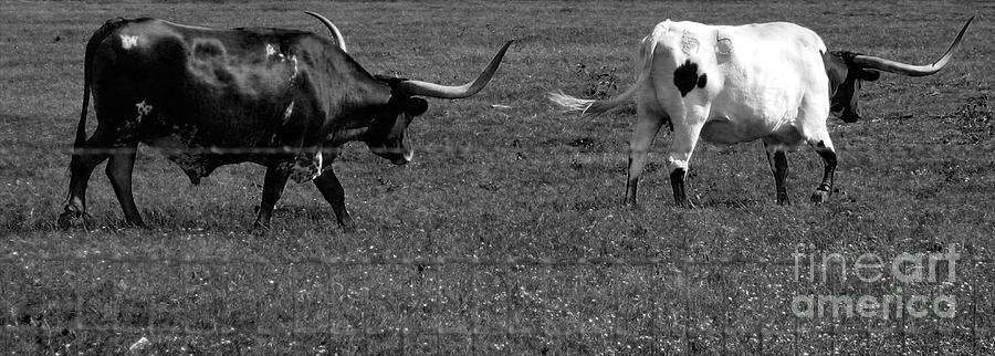 Texas Longhorns II Photograph
