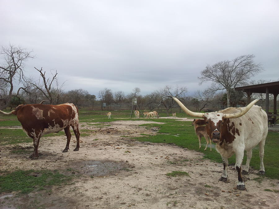 Landscape Photograph - Texas Longhorns by Shawn Marlow