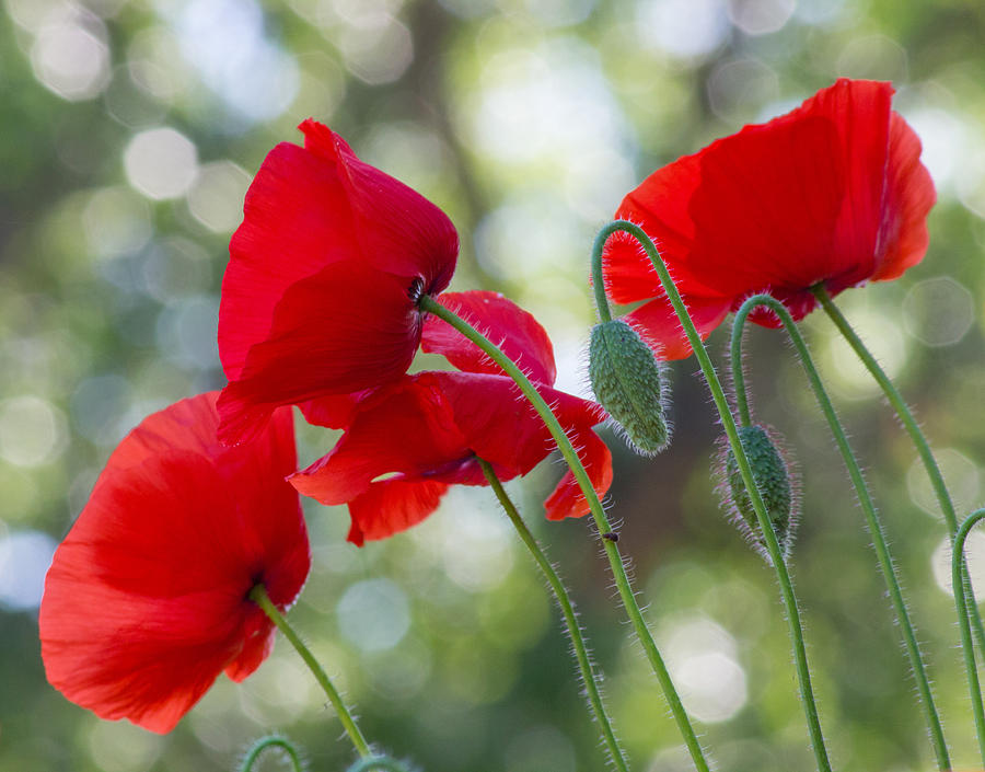 Poppy Photograph - Texas Poppies by April Nowling