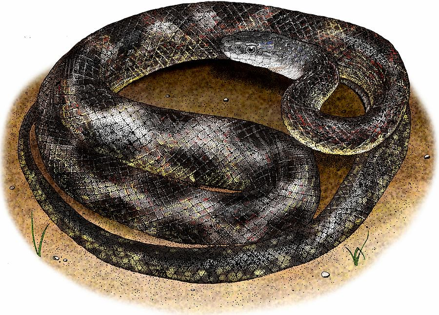 Texas Rat Snake by Roger Hall