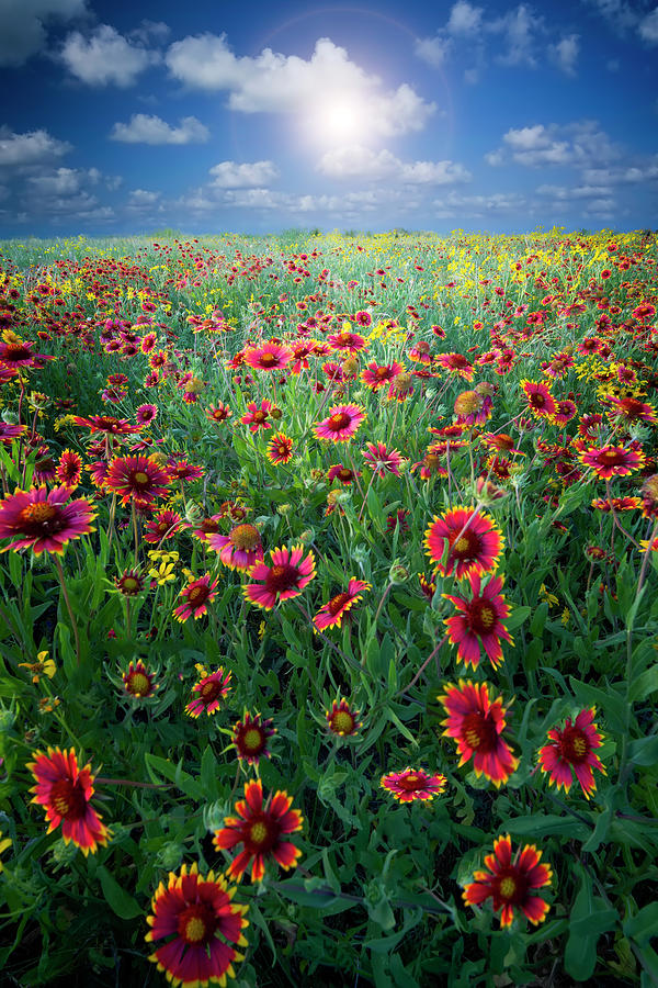 Texas Wildflowers Photograph by Dean Fikar