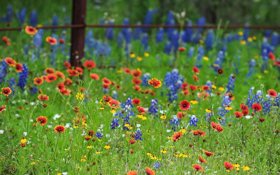 Texas Wildflowers Photograph Lyn Scott
