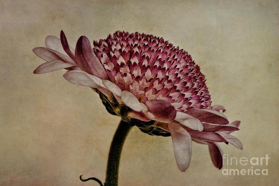 Chrysanthemum Photograph - Textured Mum by John Edwards