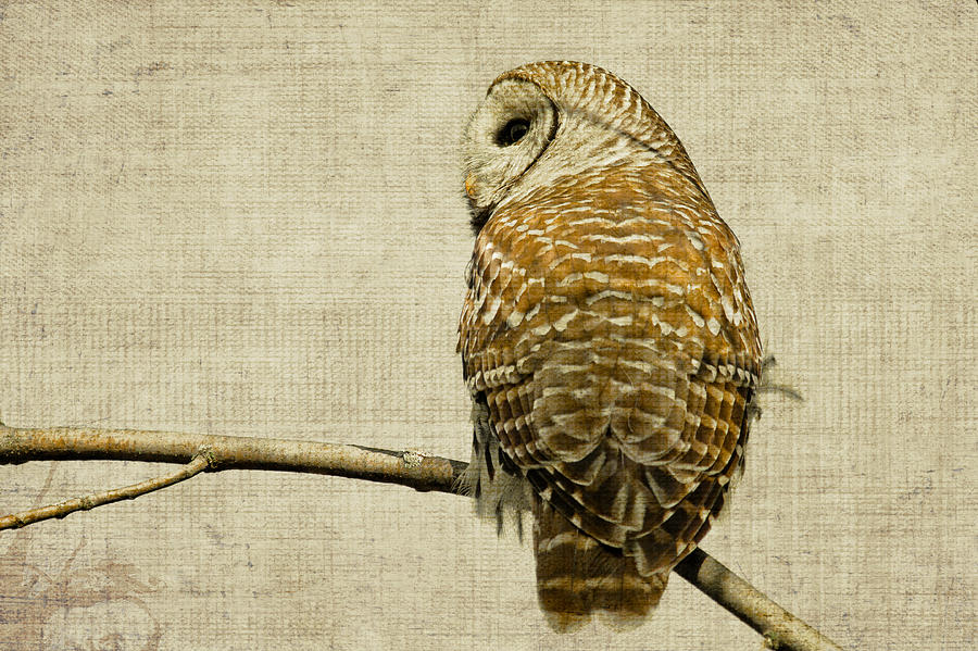Animal Photograph - Textured Strix Varia by Michel Soucy